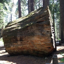 Sequoia gigantea stump