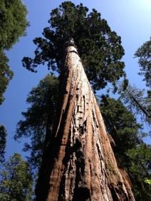 Sequoia gigantea