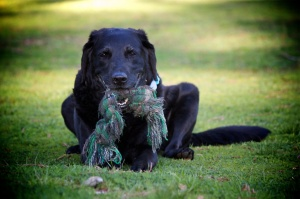 Picture of Pia, a black lab / retriever mix dog who travels with Laurie and Fred and is a wonderful faithful companion. She's on green grass with a favorite toy in her mouth.