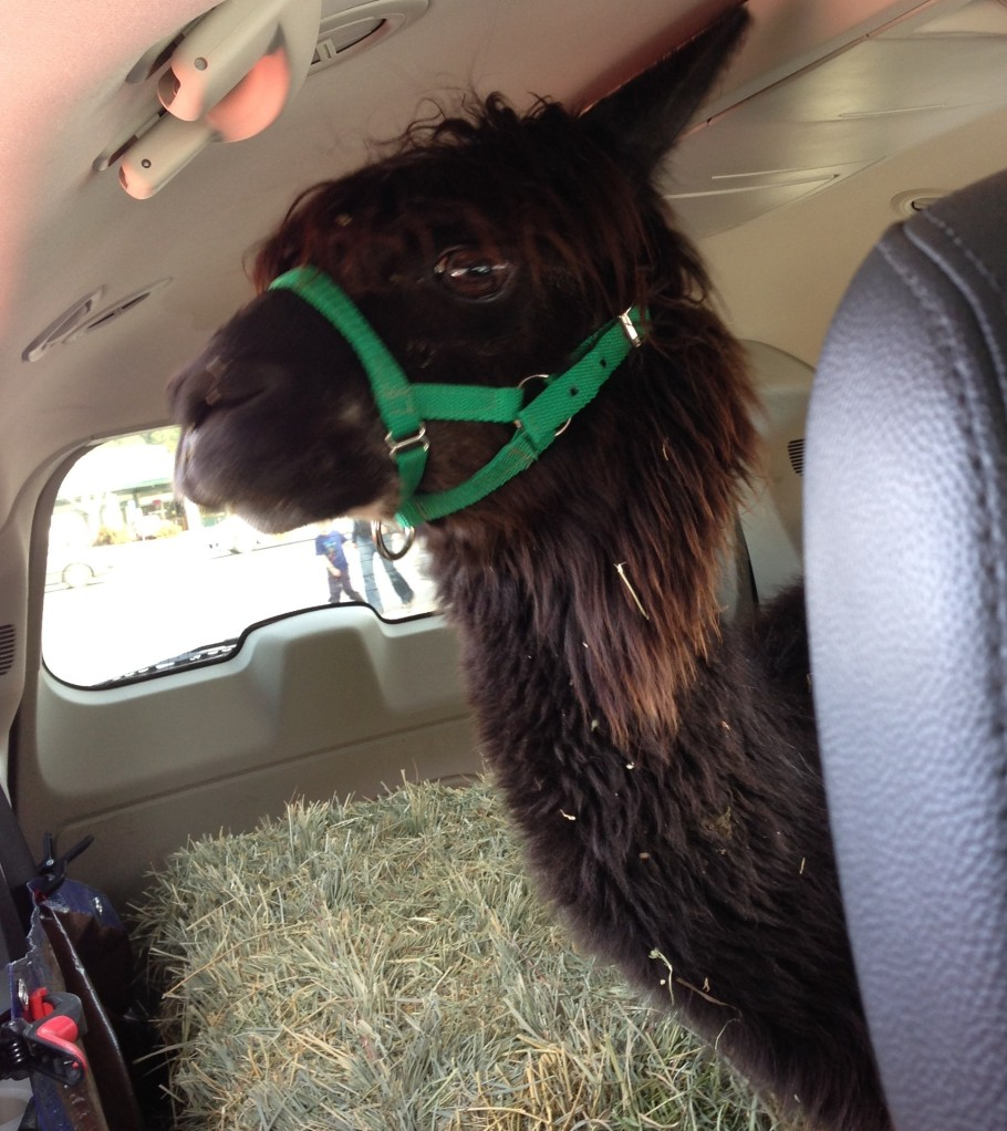 alpaca riding in the back of a minivan
