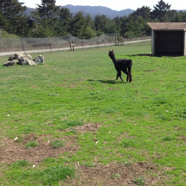 black alpaca grazing on green pasture at a wild horse sanctuary