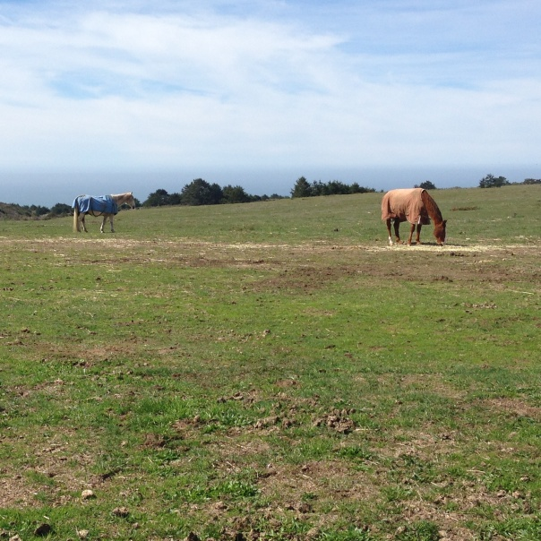 horses graze on green pastures with ocean view in background at Wild tender horse sanctuary in Pescadero, CA.