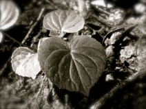Large heart shaped leaves of a spring violet, no flowers