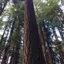 Looking Up - Sequoia Sempervirons