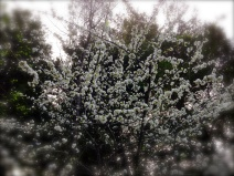 Big puffy white blossoms on a tree signifying springtime
