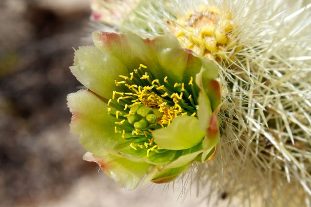 Blooming Silver Chollo Cactus