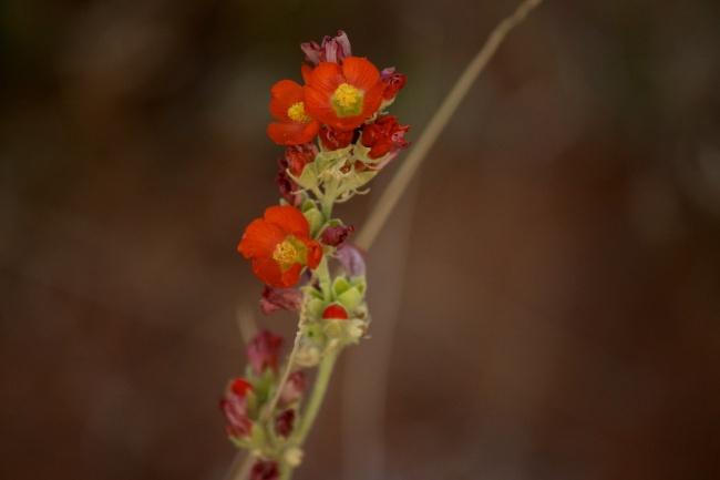 red-orange desert flower of the mallow family