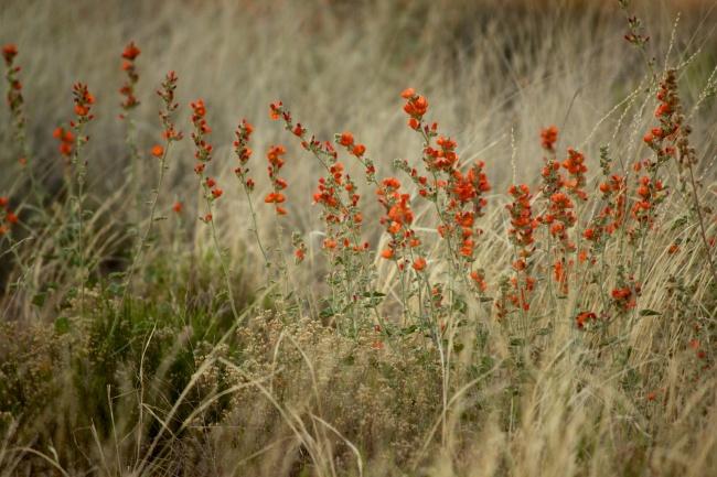 red-orange desert flower in the Mallow family
