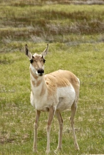 Ms. Pronghorn Antelope