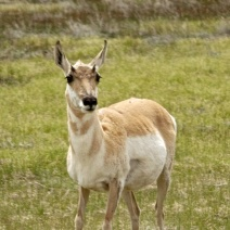 Ms. Pronghorn Antelope