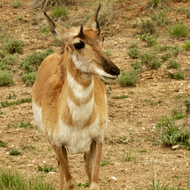 Mr. Pronghorn Antelpe