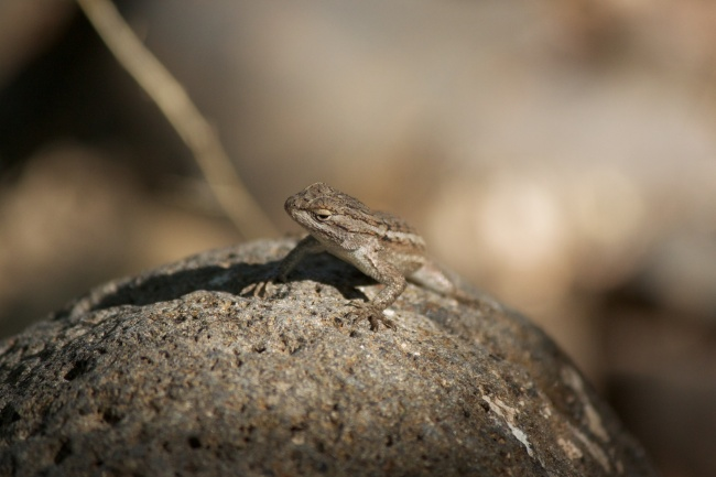 Lizard peeking over the rock near Walker Creek