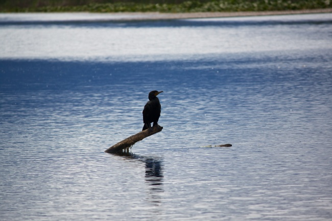 Lone Cormorant