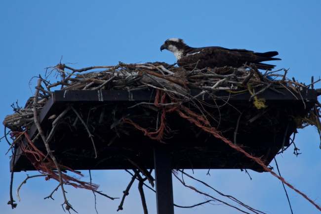 Osprey on Nesst