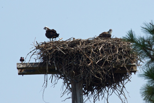 Osprey Family (you can barely see that tiny head in the middle.)