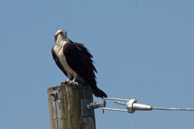 Osprey Keeping Watch