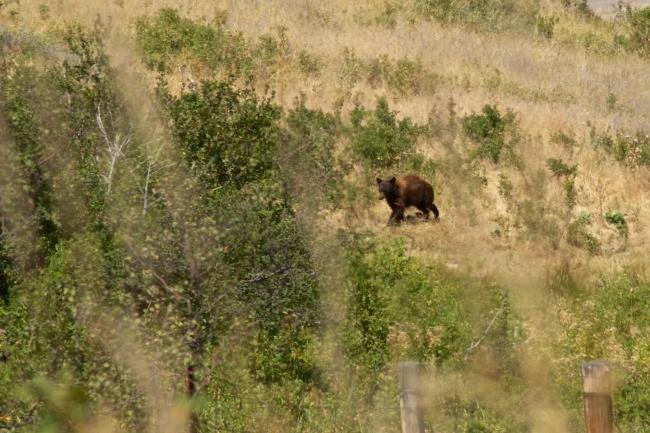 Black Bear Chasing Cubs