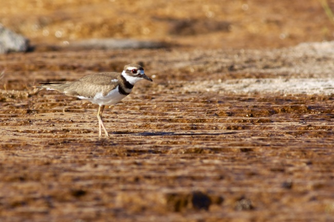 Killdeer Among The Hot Springs