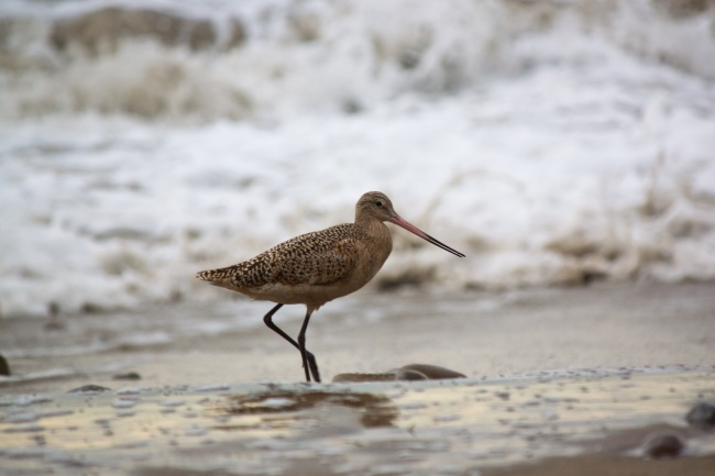 Marbled willet along the shore