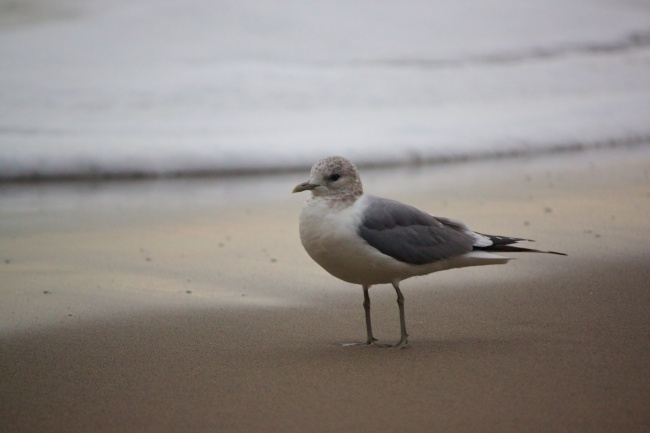 Young seagull on the sand
