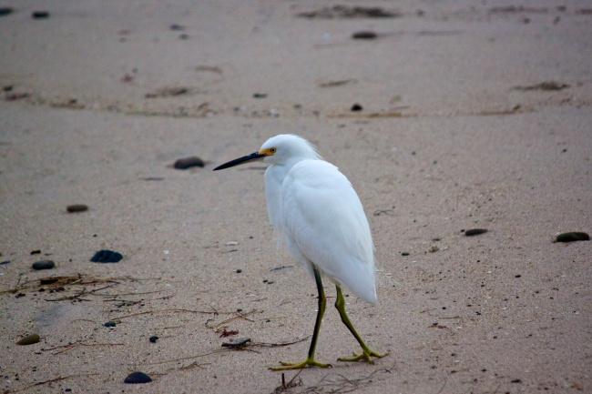 Snowy egret with injured leg