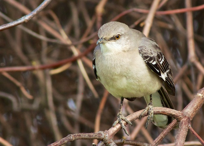 enlarged mockingbird