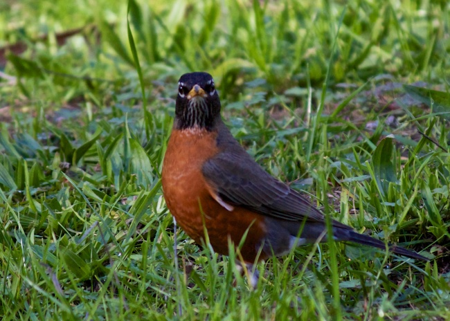 enlarged robin