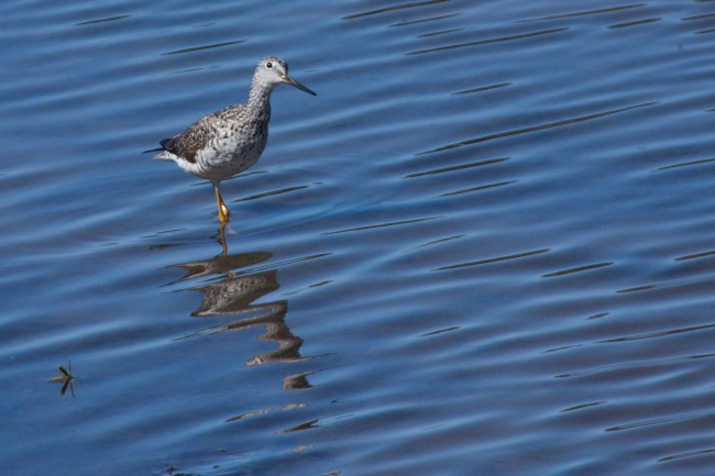 Lesser Yellowlegs (might be a Greater Yellowlegs)