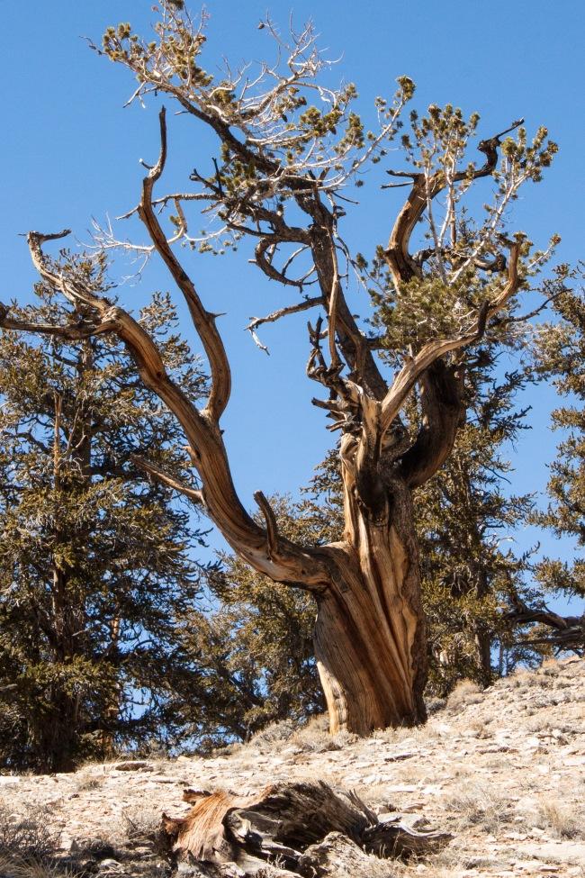 20150329-Bristlecone Pines_-12