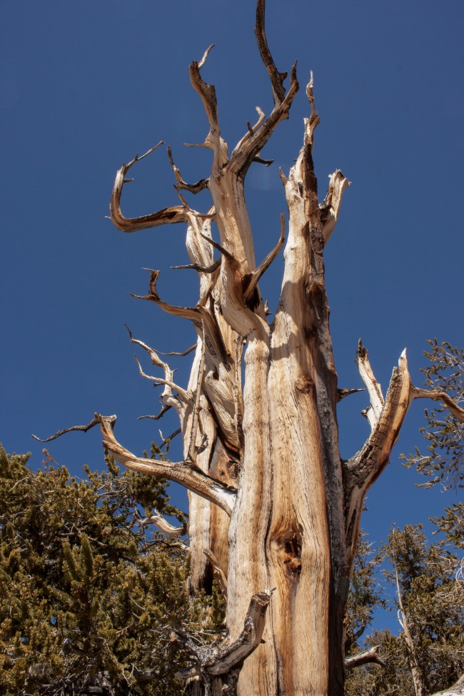 20150329-Bristlecone Pines_-34