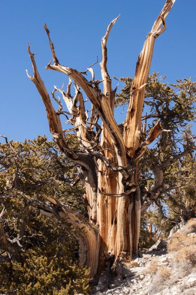 20150329-Bristlecone Pines_-64